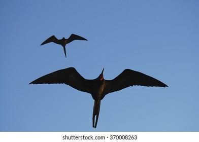 Frigate Birds - Galapagos - Ecuador