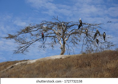 Frigate birds in the trees of temporary dry forests in Tumbes-PERU