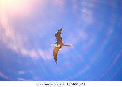 frigate in flight, seabird flies in the blue sky, freedom
