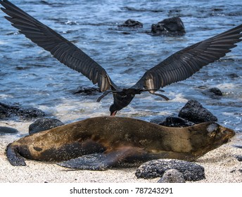 Frigatebird Bird attacking mother sea lion