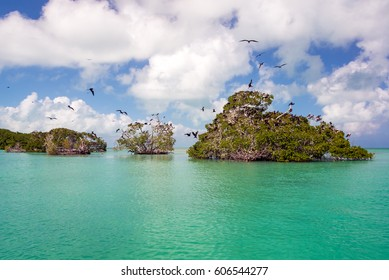 Frigatebirds on mangroves in the Caribbean Sea in the Sian Kaan Biosphere Reserve near Punta Allen, Mexico