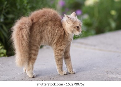 frightened cat defends itself and attacking, the ginger kitten arched his back in fear,animal life, pets walking outdoors