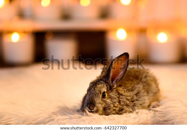 A frightened grey rabbit lying attentively on a white soft carpet, background of candles. Young cute brown fluffy happy rabbit in room.