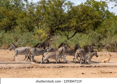Frightened herd of zebra's fleeing from waterhole together with an impala