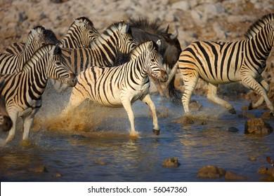Frightened herd of zebra's fleeing from  waterhole ; Etosha