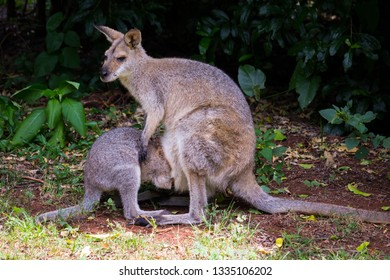 Frightened Joey Hiding in a Mother Wallaby Pouch at Bunya Mountains National Park