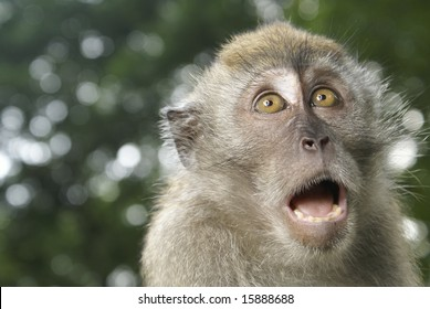 Frightened long tailed macaque portrait