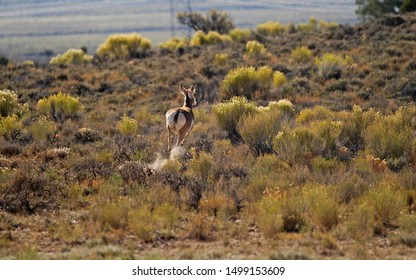 Frightened Pronghorn Antelope leaves a cloud of dust as it dashes across the desert