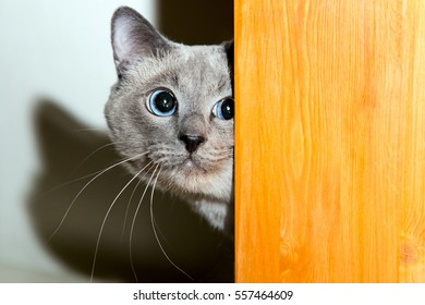 Frightened thai cat looks behind board, real emotion, phobia