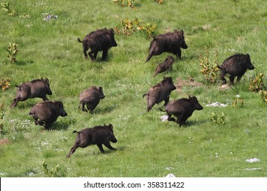 Frightened wild boar drove running away