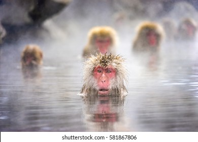 Frightening Japanese snow monkey in Onsen, Jigokudani, Nagano, Japan