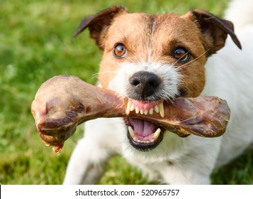 Frightening jaws of angry dog protecting big bone