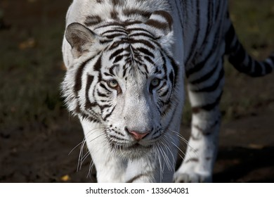 Frightening look of a white bengal tiger.