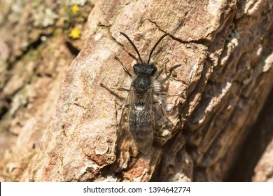 A Frigid Mining Bee - Andrena frigida rests in the sun on the bark of a tree. Also known as a Frigid Miner. Taylor Creek Park, Toronto, Ontario, Canada.
