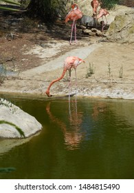 Friguia Park, Bouficha city, Tunisia - July 16, 2019: Pink flamingos at the zoo in Tunisia.