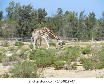 Friguia Park, Bouficha city, Tunisia - July 16, 2019: Giraffe at the zoo in Tunisia.