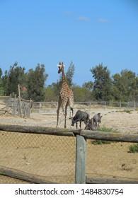 Friguia Park, Bouficha city, Tunisia - July 16, 2019: Giraffe and buffalos at the zoo in Tunisia.