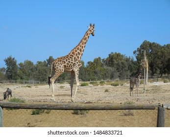 Friguia Park, Bouficha city, Tunisia - July 16, 2019: Giraffes and buffalos at the zoo in Tunisia.