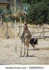 Friguia Park, Bouficha city, Tunisia - July 16, 2019: Giraffe at the manger with hay and ostrich at the zoo in Tunisia.