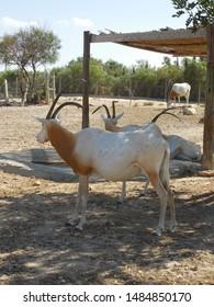 Friguia Park, Bouficha city, Tunisia - July 16, 2019: Oryx at the zoo in Tunisia.