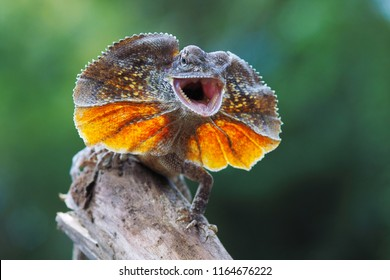 Frilled dragon lizard, chlamydosaurus kingii