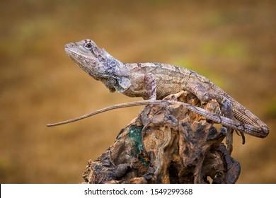 frilled dragon lizard on dry wood