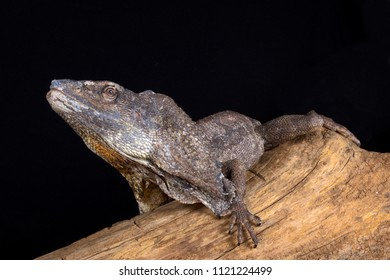 The Frilled-necked lizard (Chlamydosaurus kingii) is a species of lizard which is found mainly in northern Australia and southern New Guinea.