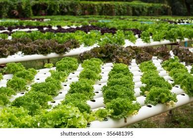 Frillice iceberg, fresh organic salad vegetable farm.