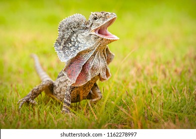 Frill-necked lizard also known as the frilled lizard