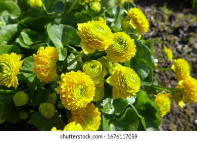 The frilly double yellow flowers of the Marsh Marigold, a pond plant, Caltha palustris 'Flore Pleno' in spring