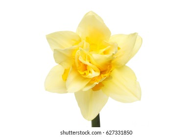 Pale yellow flower images stock photos vectors shutterstock frilly pale and deep yellow daffodil flower isolated against white mightylinksfo Choice Image