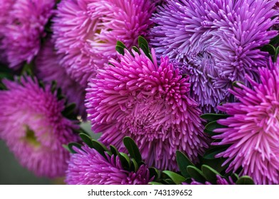 Frilly purple and pink asters in the summer garden. A bouquet of blooming Callistephus chinensis. Lush fresh magenta and pink flowers asters growing in the flower bed.