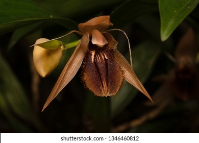 The Fringed Coelogyne Orchid, Assam, India
