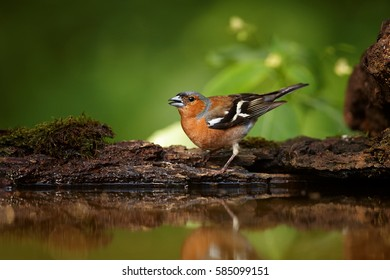 Fringilla coelebs, Common chaffinch, drinking male isolated against  dark green forest background. Spring motive. Colorful songbird mirrored in the water. Springtime, drinking bird in mixed forest.