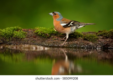 Fringilla coelebs, Common chaffinch, isolated drinking male on a mossy rim of small pool.  Spring motive. Colorful songbird mirrored in the water. Springtime, drinking bird in mixed forest.