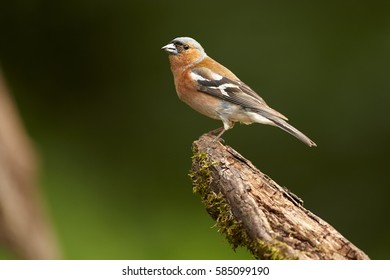 Fringilla coelebs, Common chaffinch, male isolated on a root against soft, dark green background. Spring motive. Colorful songbird in spring forest. April, mixed forest.
