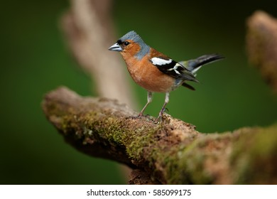 Fringilla coelebs, Common chaffinch,fluffy male isolated on a root against soft, dark green background. Spring motive. Colorful songbird in spring forest. April, european mixed forest.