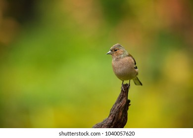 Fringilla coelebs. Wildlife of Finland. Expanded throughout Europe. Beautiful picture. Free nature. Scandinavia. A colorful picture of nature.