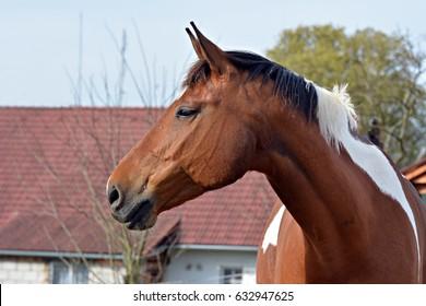 Friseand horse,