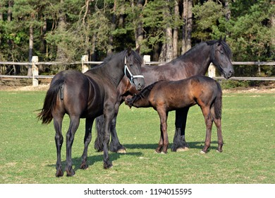 Frisian horse on the pasture