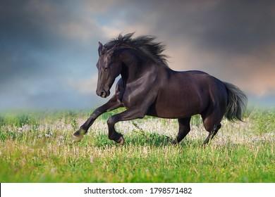 Frisian Horse run gallop on spring green meadow