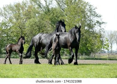 Frisian horses, noble animals on Frisian grounds