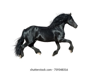 Frisian stallion isolated over a white color background