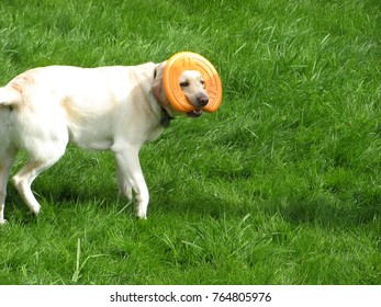 Frisky purebred dog playing on green grass in the daytime
