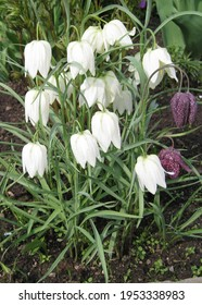 Fritillaria meleagris blooms in the garden in May.