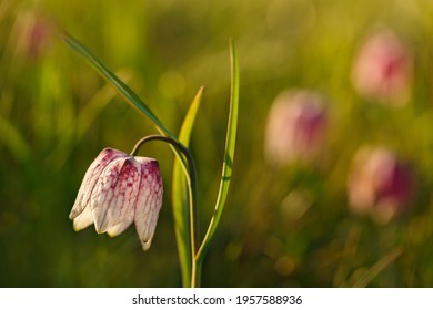 Fritillaria meleagris checkered flower blooming in spring time. Bokeh background with sunset rays.