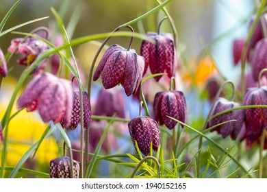 Fritillaria meleagris. This is a Eurasian species of flowering plant in the lily family. Common names are: snake's head, chess flower, fritillary, frog-cup, guinea flower, leper lily and Lazarus bell.