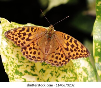 Fritillary Butterfly sitting on a leaf