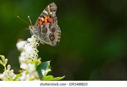 Fritillary on White Flower