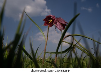 The fritillary is a plant from the lily family. The flower has purple checkered petals. The plant has a delicate stem with narrow leaves, It takes the plants eight years to get into flower.